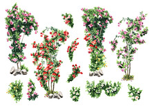 Climbing Roses Set. Hand Drawn Watercolor Illustration Isolated On White Background
