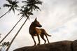 Dziki brązowy pies na wybrzeżu, stojący na skałach na tle oceanu.