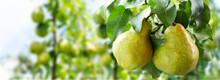 Pear Tree. Ripe Pears On A Tree