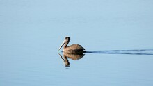 Pelican Floating On Water California Central Coast