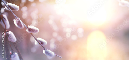 Canvas Print art Nature Spring background with blooming willow tree on sunny bokeh background