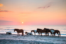 Feral Horses On Assateague Beach In A Early Morning Summer Sunrise.
