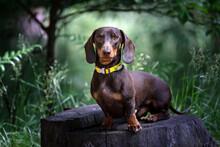 Dachshund Dog In Nature Background