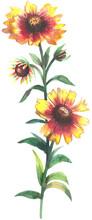Indian Blanket Wildflowers Watercolor