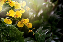 Orchid Twig With Yellow Flowers On Sunlight Illuminated Green Leaves Background In Greenhouse