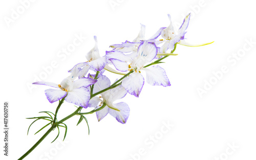Fotografiet perennial delphinium flower isolated