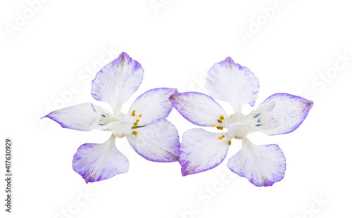 Canvastavla perennial delphinium flower isolated