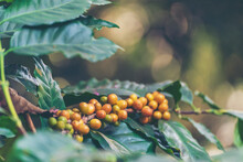 Yellow Coffee Bean Berry Plant Fresh Seed Coffee Tree Growth In Yellow Bourbon Eco Organic Farm. Close Up Yellow Ripe Seed Berries Harvest Arabica Coffee Garden. Fresh Coffee Bean Green Leaf Bush