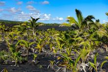 Island Of Hawaii, Maui, Hawaii , Palm , Lava, Sky, Field, Palm, Tree, Agriculture, Nature, Green, Plant, Corn, Tropical, Blue, Farm, Landscape, Summer, Leaf, Grass, Plantation, Travel, Beach, Crop, Co