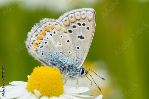Fényképezés Common blue butterfly on a blooming daisy flower