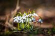 przebisniegi, wiosna, pszczola