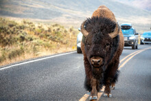 American Bison Walking The Middle Of Road In Yellowstone's Lamar Valley
