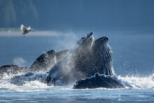 USA, Alaska, Seagull Hovers Above Humpback Whales (Megaptera Novaeangliae) Surfacing As They Bubble Net Feed On School Of Herring Fish In Frederick Sound On Summer Afternoon