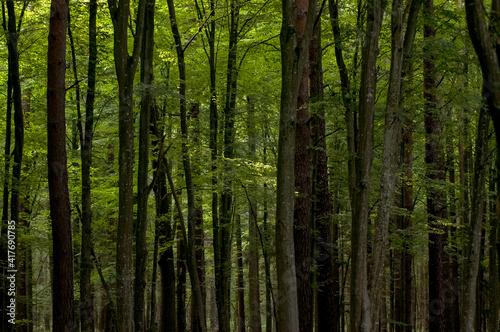Obraz Krajobraz leśny pnie drzew - fototapety do salonu