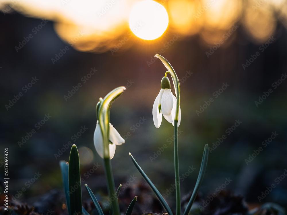 Fototapeta przebiśniegi, wiosna, kwiaty - obraz na płótnie