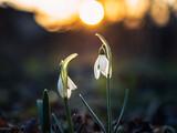 Fototapeta Kwiaty - przebiśniegi, wiosna, kwiaty