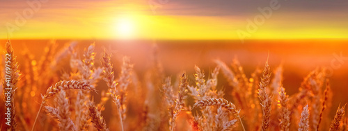 Fototapety, obrazy: Wheat field. Spikelets of wheat in the field during sunset. Panorama