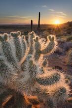 USA, Arizona. Teddy Bear Cholla Cactus Illuminated By The Setting Sun, Superstition Mountains.