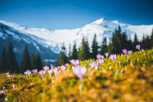 Alpine Pastures Are Covered Magic Crocus Flowers On Spring High Tatras Mountains.