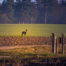A Beautiful Young Roe Deer Buck Walking Over The Field In Spring Sunrise Hour.