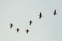 A Group Of Large Cormorants Flies In The Sky
