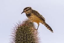 USA, Arizona, Sonoran Desert. Cactus Wren Perched On Cactus Thorns.