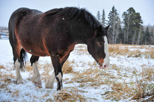 Clydesdale Horse Walking Pasture As Snow Falls In Winter