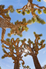 USA, California, Joshua Tree National Park. Sunburst Through Joshua Trees.