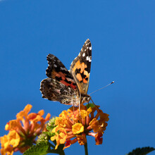 USA, California. Painted Lady Butterfly On Lantana Flowers.