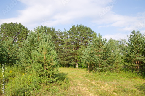 The nature of Seliger. Summer landscape with pine trees on a sunny day © koromelena