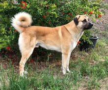 Standing Anatolian Shepherd Dog