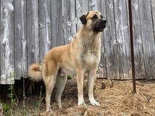Anatolian Shepherd On Alert