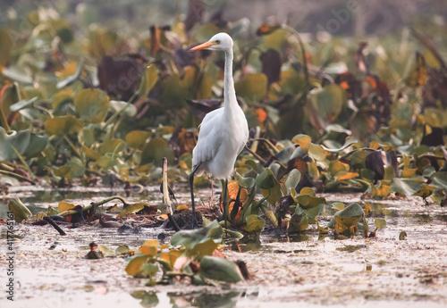 Fototapeta premium White Egret bird sitting near a marshy swamp