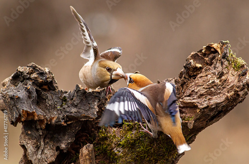 Fototapeta Hawfinches in the winter forest