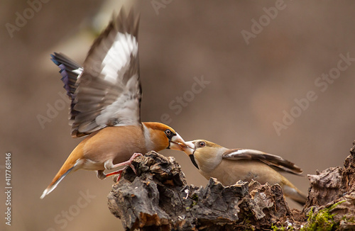 Obraz na plátne Hawfinches in the winter forest