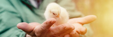 Cute Little Tiny Newborn Yellow Baby Chick In Hands Of Elderly Senior Woman Farmer On Nature Background. Banner. Flare