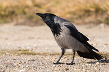 A Hooded Crow Standing On The Ground And Watching The Surroundings