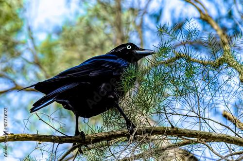 Fototapeta premium Australian Raven - Corvus coronoides black passerine bird in the genus Corvus native to much of southern and northeastern Australia.