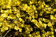 Bumblebee Or Honeybee Pollinating Winter Jasmine - Jasminum Nudiflorum