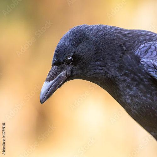 Fototapeta premium Carrion crow portrait of head