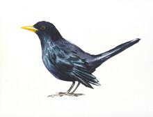 Blackbird,hand Drawn Watercolor Illustration On White