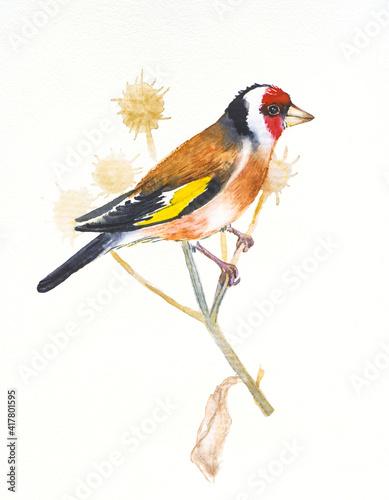 Obraz na płótnie Goldfinch ,hand drawn watercolor illustration on white