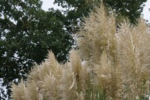 Pampas Grass, Cortaderia Selloana Is A Species Of The Sweet Grass Family. A Ornamental Plant As A Shrub, Cut Flower, Very Decorative In Autumn, An Eye-catcher In Parks. Blurred Background A Tree