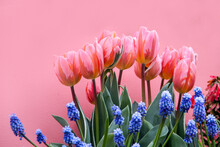 Flower Bed Made Of Tender Pink Tulips And Muscari Grape Hyacinth Flowers On Pink Wall Background