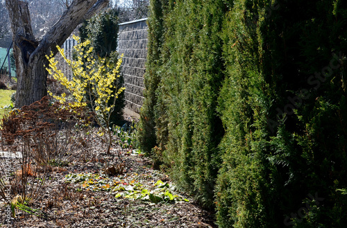 Fotografie, Obraz perennial flowerbed still May in February frozen, icicles, snowy dry stalk, snow in the whole garden behind the concrete wall