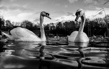 Large White British Mute Swan Swans Pair Low Water Level View Close Up Macro Photography On Lake In Hertfordshire With Canadian Geese In Background