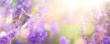 Abstract Spring Or Summer Floral Background; Beautiful Lavender Flower Against Evening Sunny Sky And Fly Butterfly; Nature Landscape Abstract Background.