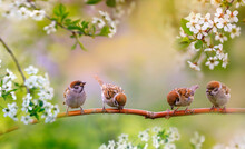 Birds And Baby Sparrows They Sit In Spring Sunny Bloom On The Branches Of Cherry Trees With White Flowers