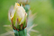 Yellow Bud For Prickly Pear Cactus Flower Close Up With Blurred Green Background.