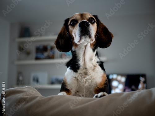 Stampa su Tela Beagle dog sitting on the sofa at home